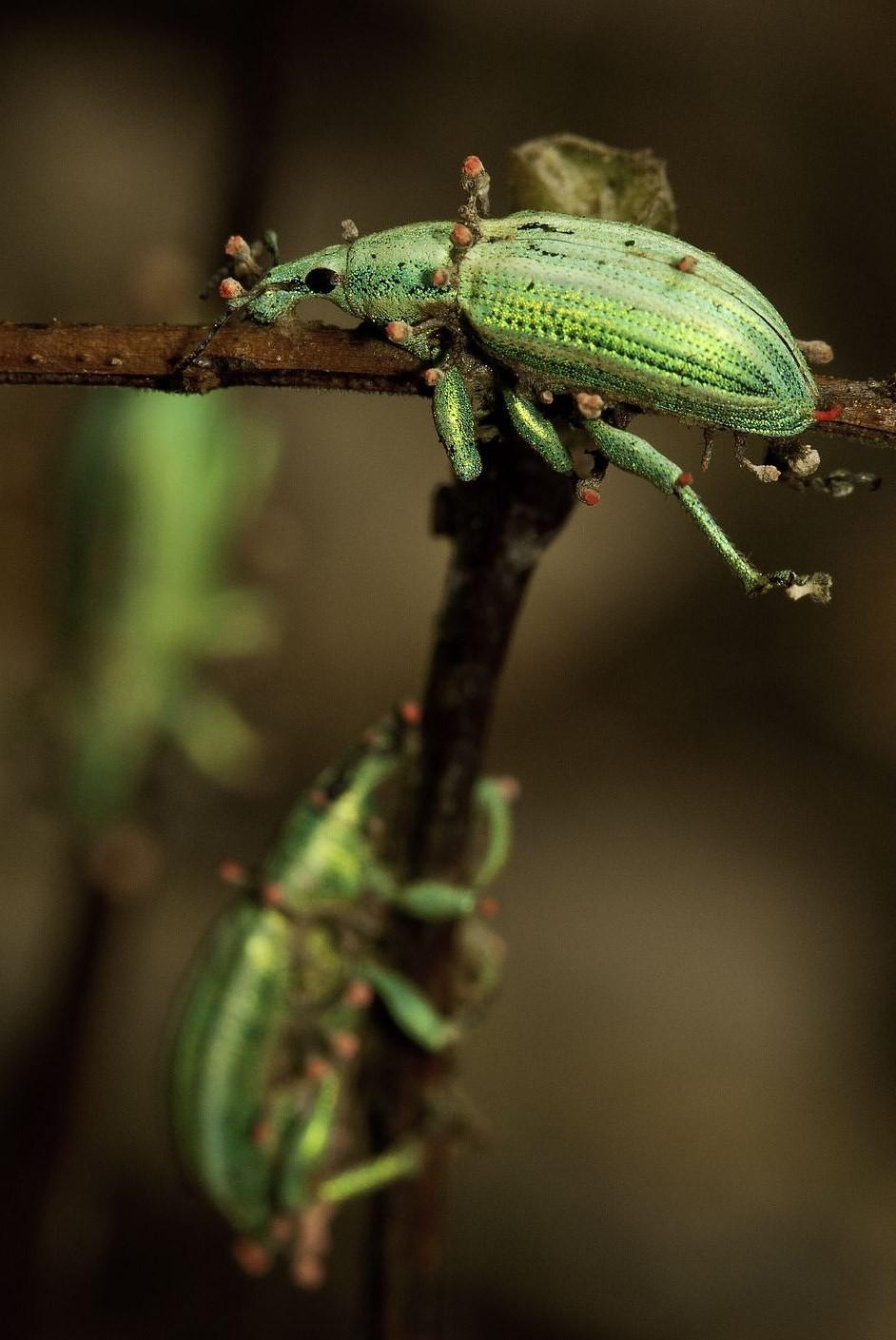 O animal fotografado é é da espécie Sitophilus granarius, também conhecido como gorgulho (Foto: BMC Ecology/Damien Esquerré)