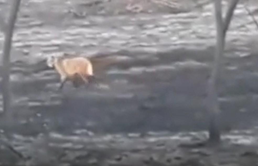 VÍDEO: lobo-guará é flagrado em área atingida por incêndio em São José do Rio Pardo