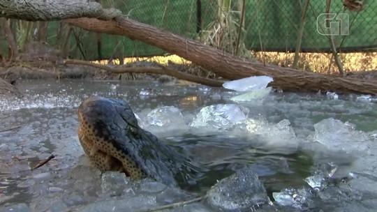 Jacarés mantêm focinho fora de lago congelado para sobreviver ao frio nos EUA