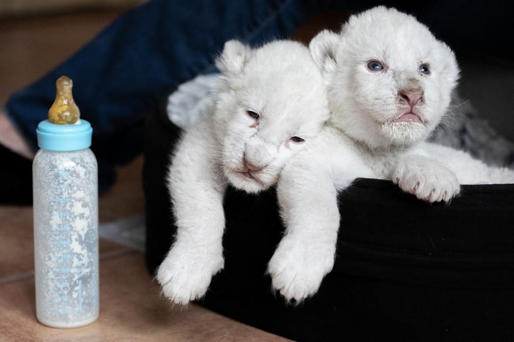 """Dois filhotes de leão branco deitados em uma cesta na associação """"Caresse de tigre"""", em La Mailleraye-sur-Seine, nordeste francês. — Foto: Lou Benoist/AFP"""