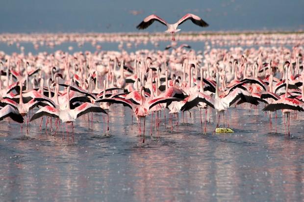 Während einer Safari in den grossen Nationalparks von Kenia, kann man zahlreiche Tiere entdecken und beobachten, wie z.B. diese Flamingos. (Foto: Getty Images/iStockphoto)
