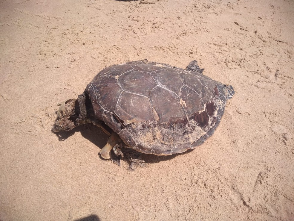 Tartaruga da espécie verde foi achada em avançado estado de decomposição no sul da Bahia — Foto: Projeto (A)mar