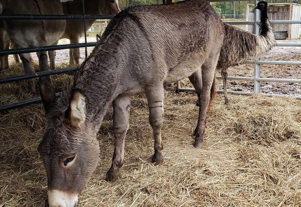 O burro Jack e a emu Diane, em foto divulgada pelo abrigo que cuidou deles na Carolina do Sul — Foto: Reprodução / Facebook / Carolina Waterfowl Rescue