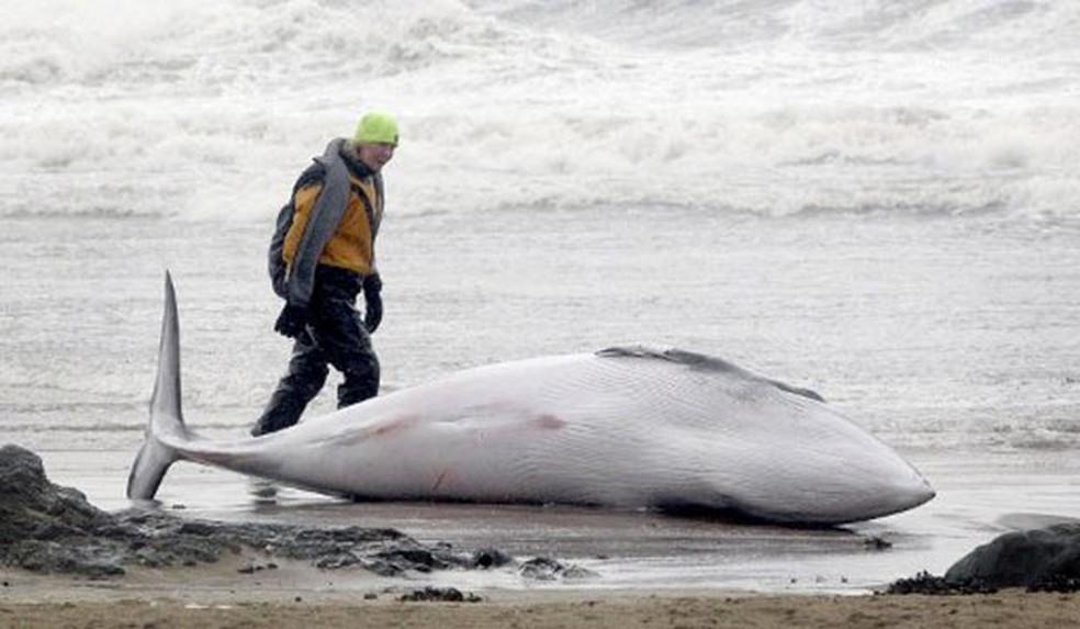 Exemplar de baleia Minke encalhada em praia do litoral da Escócia (Foto: Graham Stuart/AFP)