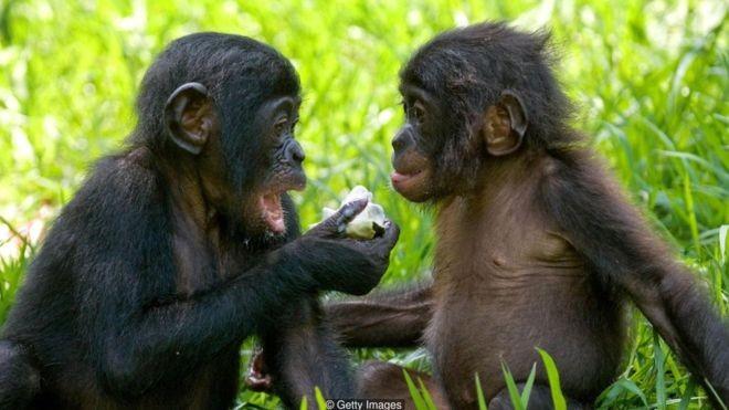 Bonobos fêmeas se unem para vencer machos agressivos - mas são mais inclinadas a fazer amor, e não guerra (Foto: Getty Images via BBC News Brasil)