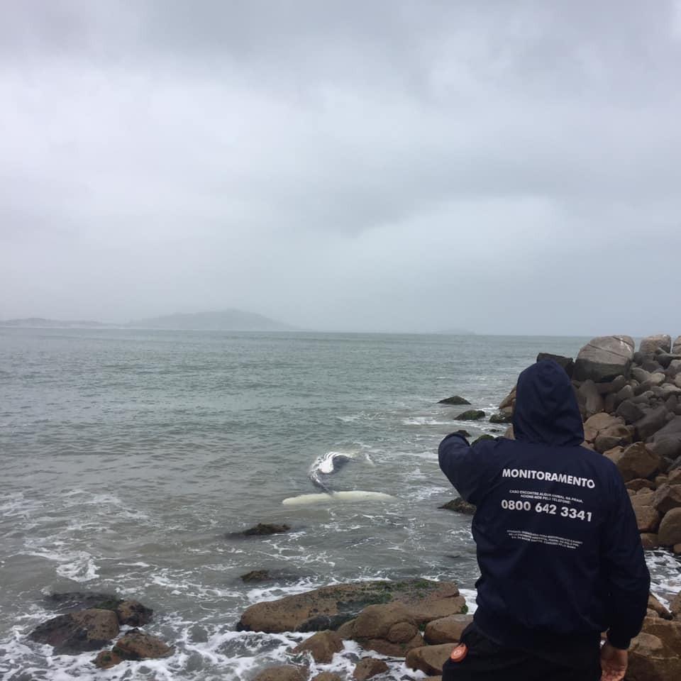 Filhote de baleia jubarte é encontrado morto em praia no Sul de SC