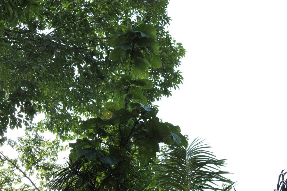 Árvore da coccoloba pode chegar a altura de 15 metros  de altura — Foto: Jheniffer Núbia/G1