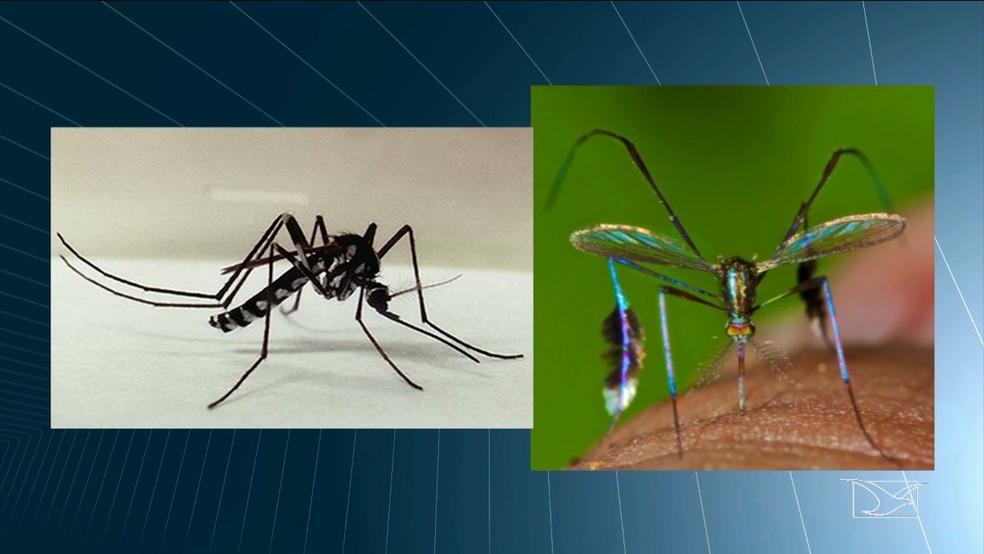 Febre amarela só é transmitida para o ser humano pela picada dos mosquitos haemagogus e sabethes (Foto: Reprodução/TV Mirante)