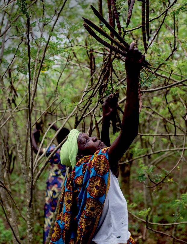 Agricultora durante a colheita das vagens da árvore de moringa (Foto: Mar+vin/arquivo Vogue, Jacques Nkinzingabo/divulgação The Body Shop)