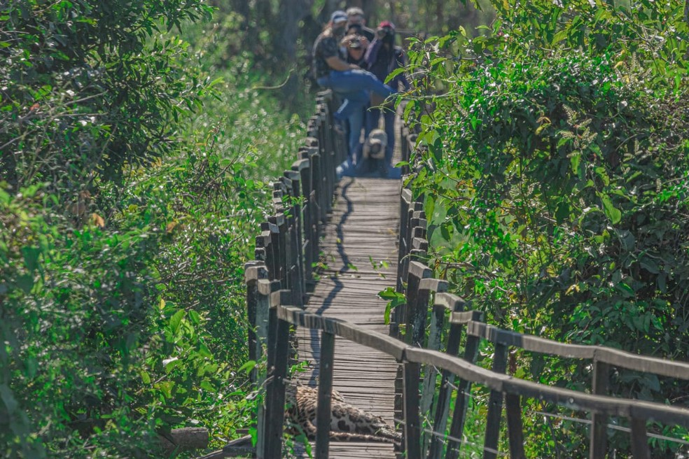 Onça deita em trilha e aproveita para ser fotografada por turistas, no Pantanal de MS.  Foto: Edir Alves/Foto