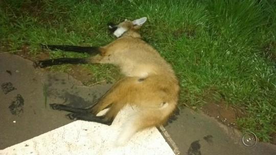 Lobo-guará morre atropelado em rodovia de Iacanga