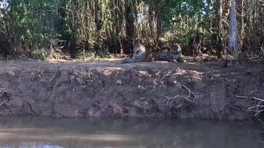 Onças-pintadas irmãs são flagradas em momento de descanso no Pantanal de MT; veja vídeo