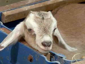 Clone transgênico de cabra chamada gluca (Foto: TV verdes mares)