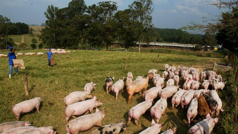 criação_suínos_porcos (Foto:  Ernesto de Souza / Editora Globo.)