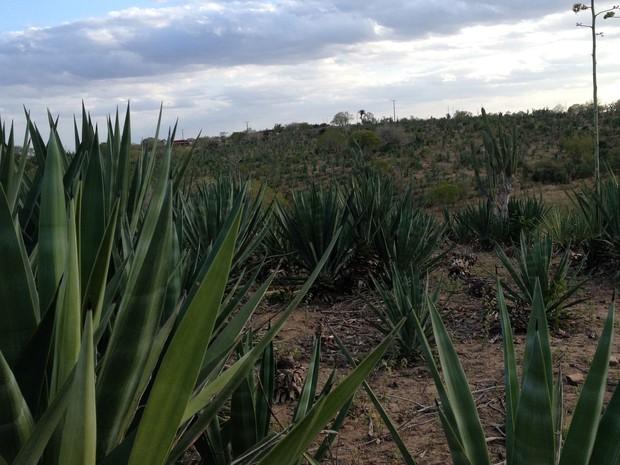Antes tomado por sisal, terreno tem plantação irregular e com espaçamentos (Foto: Henrique Mendes / G1)