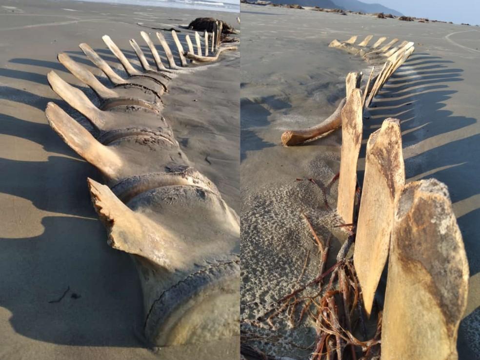 Ossos encontrados podem ser de baleia enterrada há 12 anos — Foto: Arquivo pessoal/Marcelo Rodrigues