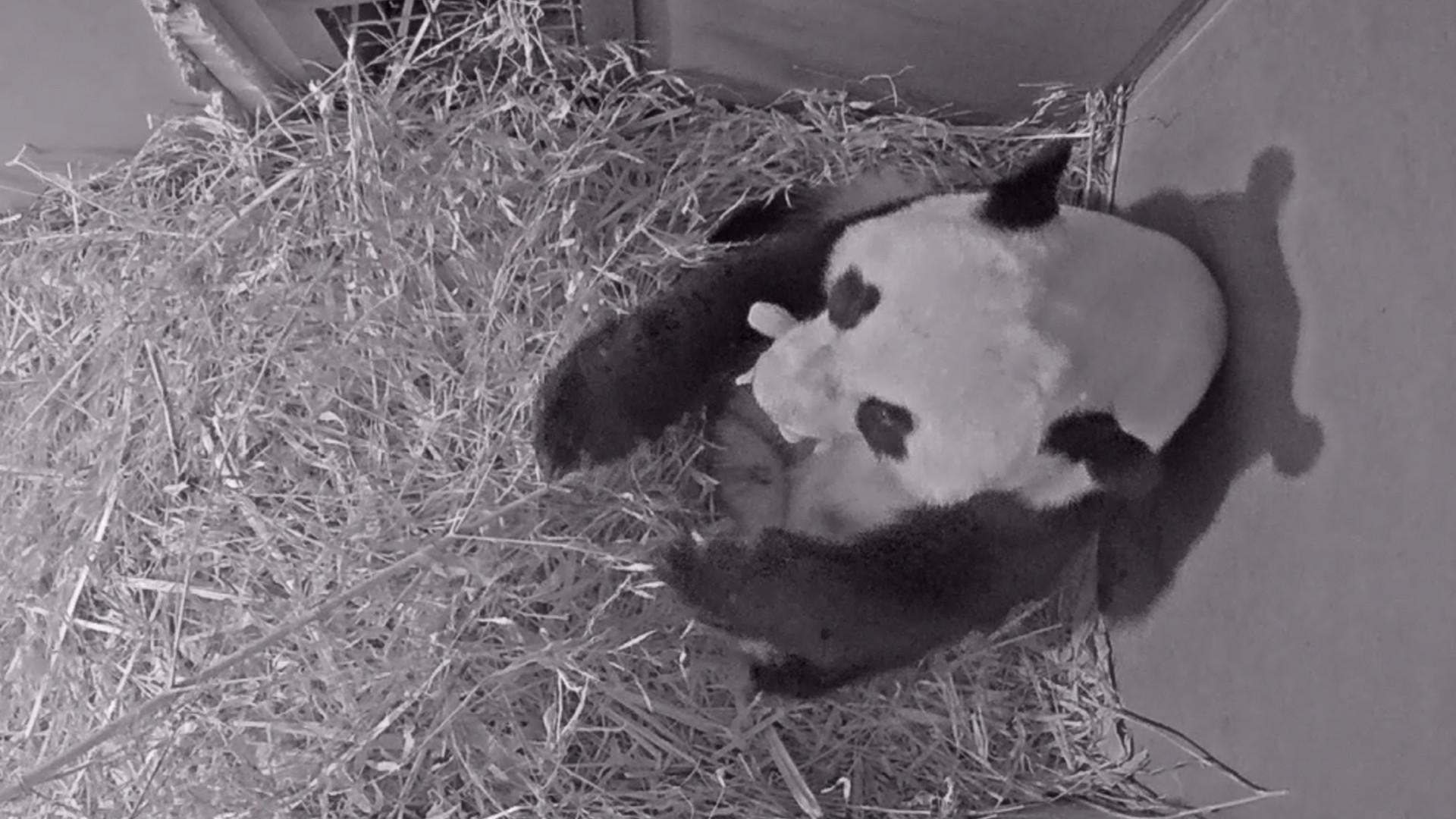 Nasce primeiro panda gigante na Holanda