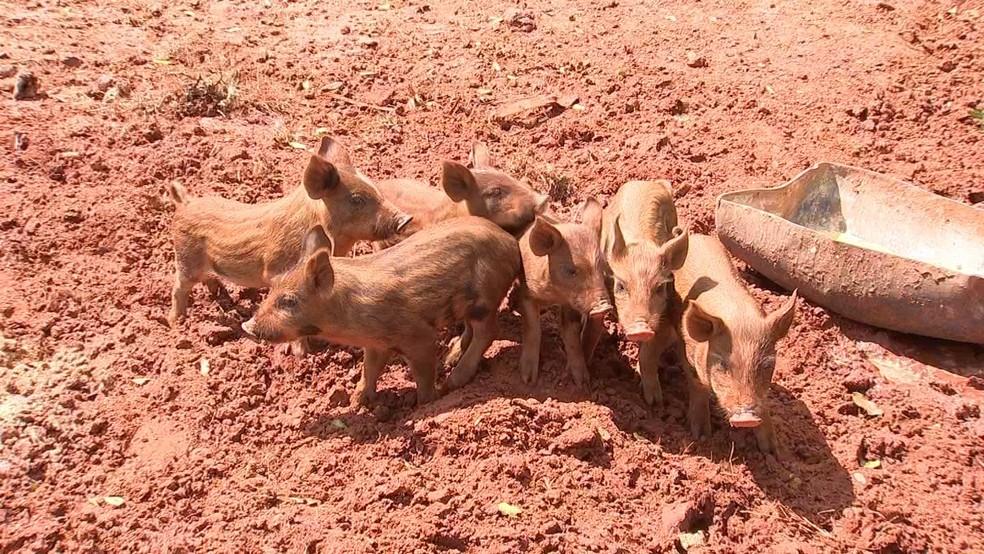 Lei que proíbe caça do javaporco preocupa produtores de São Paulo (Foto: Reprodução/TV TEM)