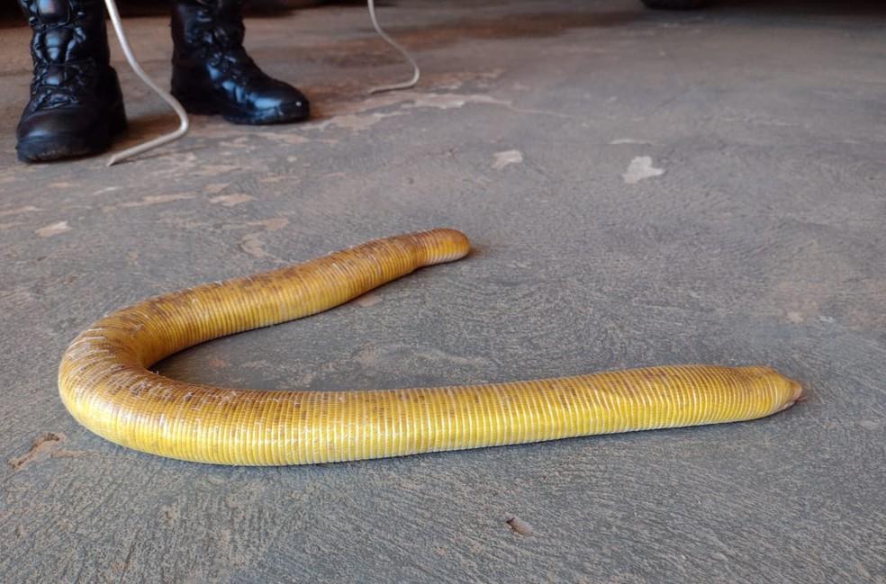 Dona de casa encontrou uma cobra-cega de quase 1 metro de comprimento dentro da residência dela, nesta quinta-feira (15), em Sorriso (MT) — Foto: Corpo de Bombeiros de Mato Grosso