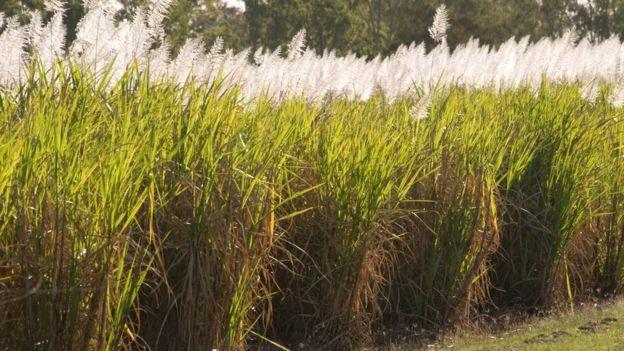 Etanol brasileiro é feito majoritariamente a partir da cana de açúcar (Foto: via BBC News)