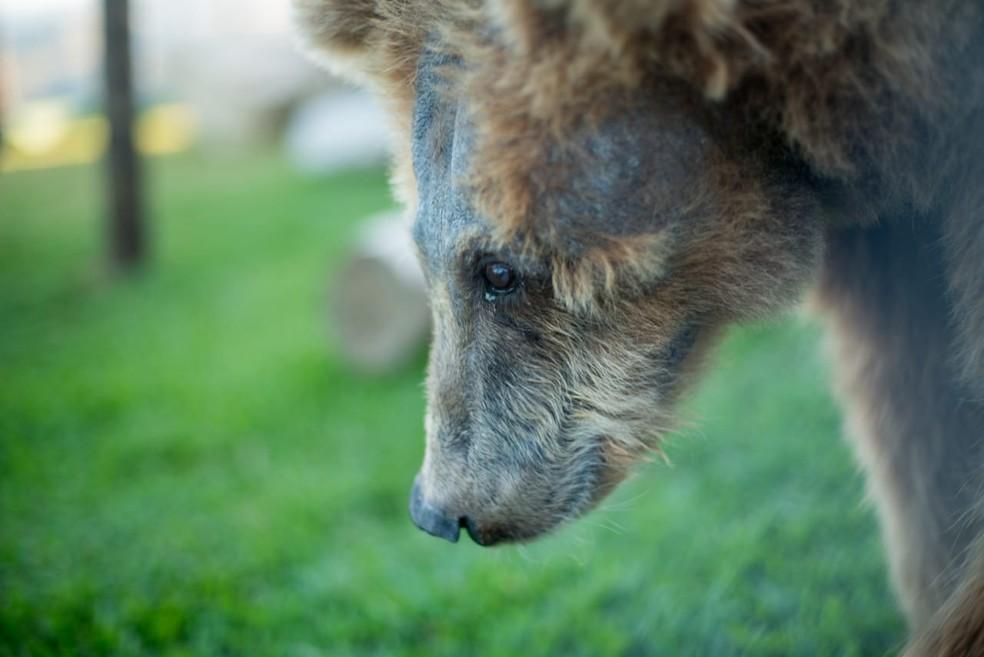 Ursa está em santuário de animais em Joanópolis — Foto: Biga Pessoa/ Rancho dos Gnomos
