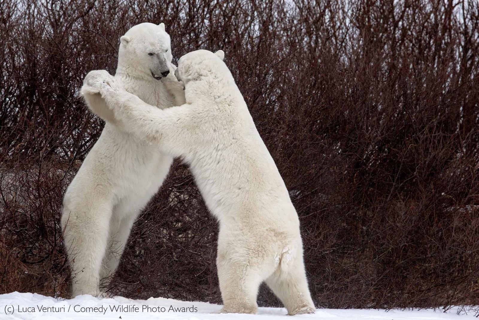 Ursos dançarinos (Foto: Luca Venturi / Comedy Wildlife Photography)