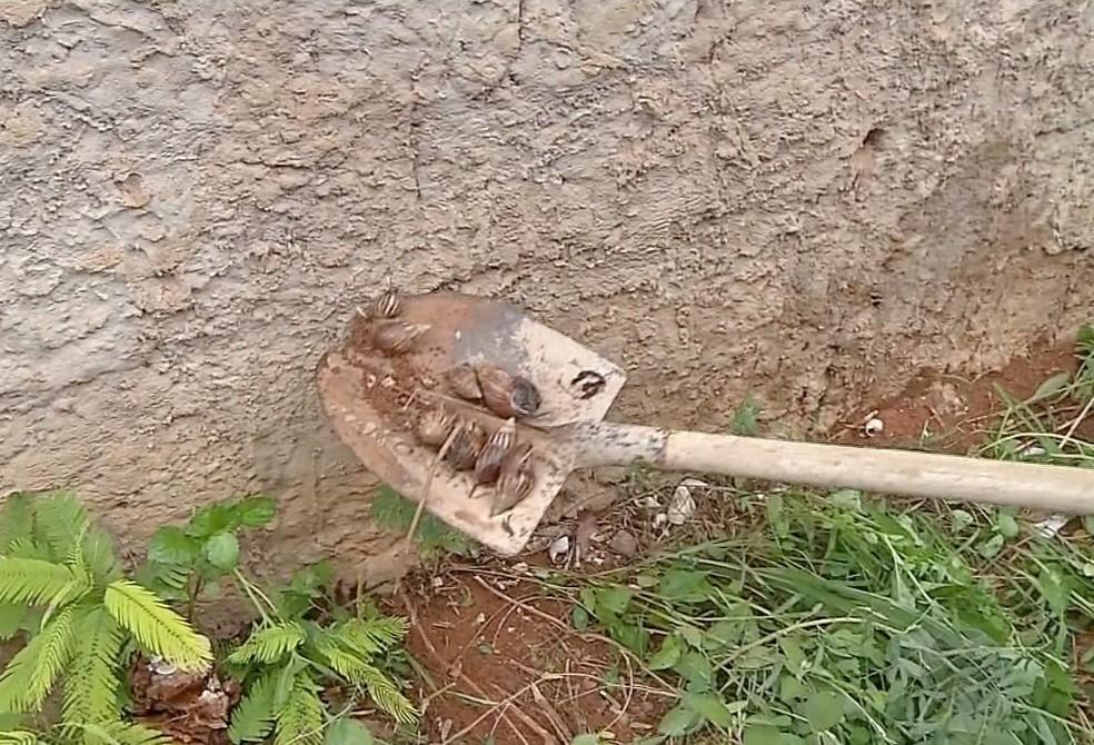 Para tentar amenizar o problema, o engenheiro costuma usar uma pá e sai recolhendo esses moluscos — Foto: TV Centro América
