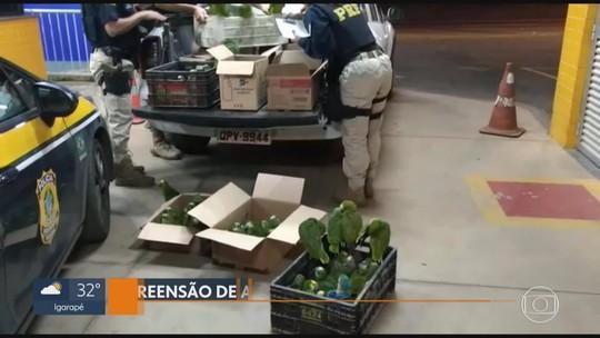 Homem é preso com mais de 160 papagaios na BR-040, diz PRF