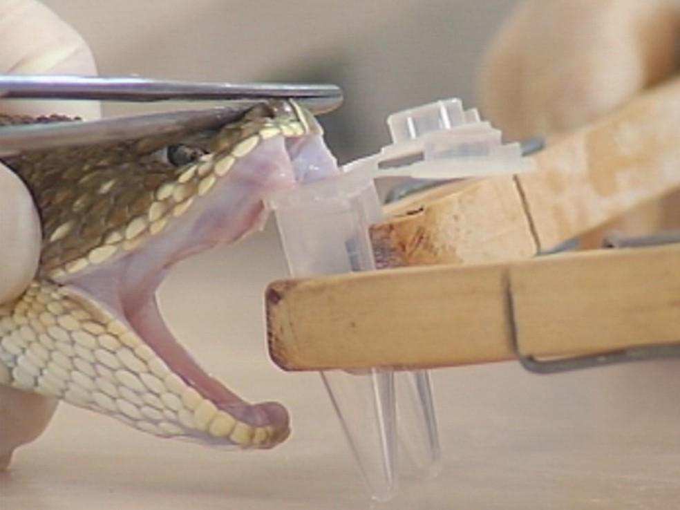 Venenos são retiradas das cobras para pesquisas em Botucatu, SP (Foto: Reprodução/TV TEM)