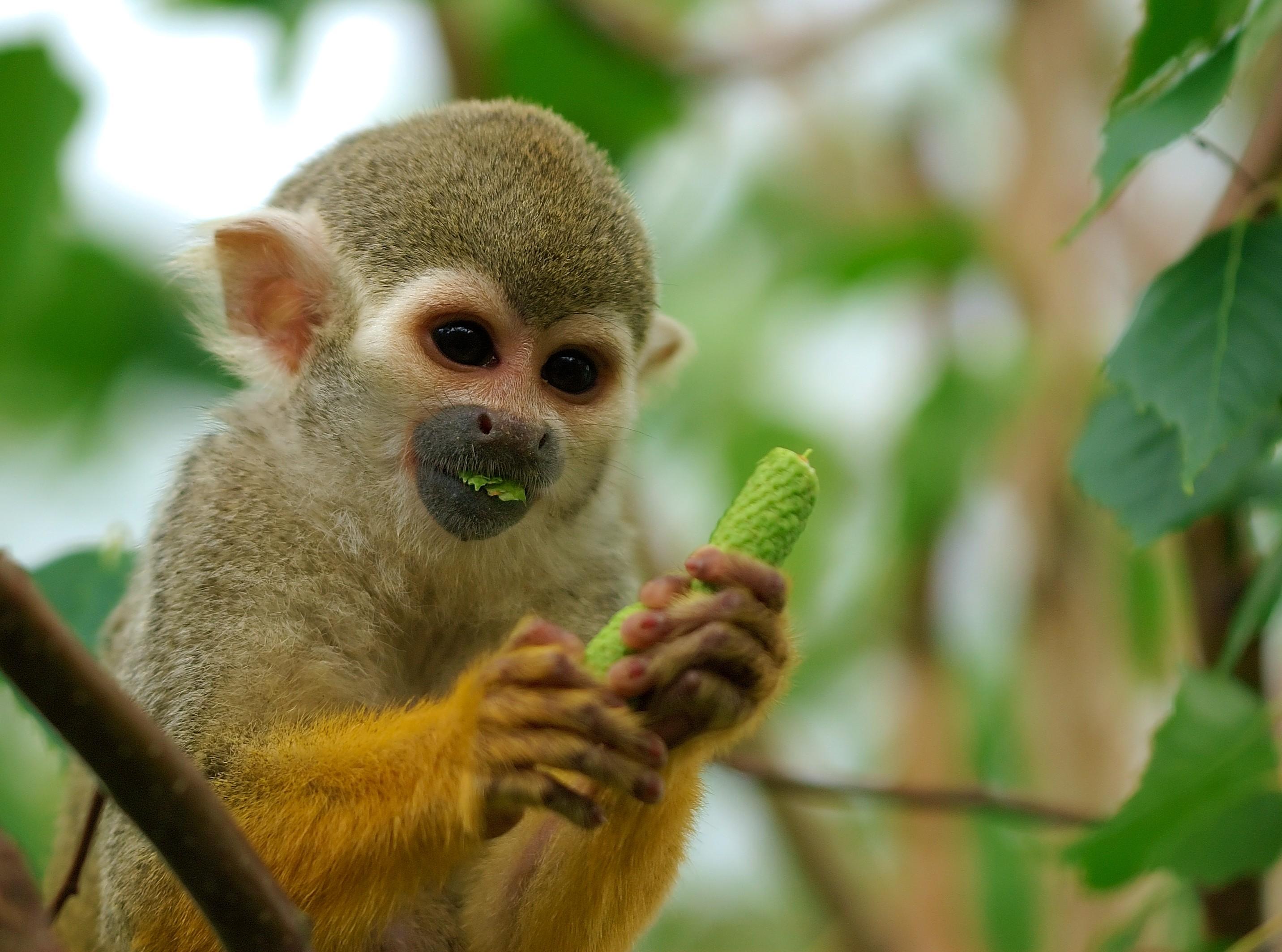 Macacos ficaram perturbados e estressados com a presença do jovem em sua área (Foto: Wikimedia/I, Luc Viatour)