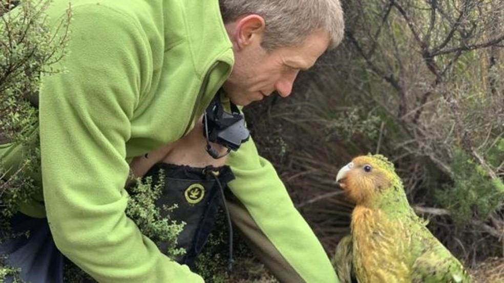 Objetivo é que população de kakapos chegue a 500 espécimes; hoje existem apenas 147 aves adultas — Foto: New Zealand Department of Conservation
