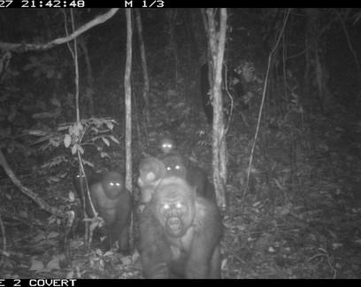 Grupo de gorilas mais raros do mundo é fotografado pela primeira vez