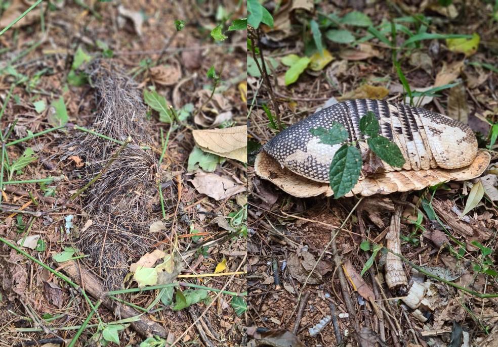 A esquerda supostamente o registro de fezes da onça-pintada com pelos de cateto e a direita uma carcaça de tatu. — Foto: Divulgação Mundo Woods