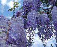 Glicínia: saiba mais sobre a flor que exala amor para casais