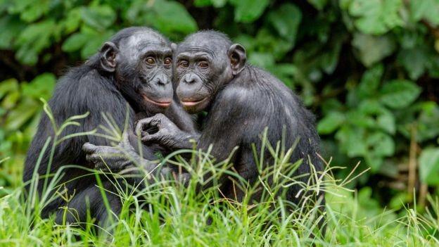 Os bonobos são outra espécie em perigo (Foto: GETTY IMAGES/via BBC News Brasil)