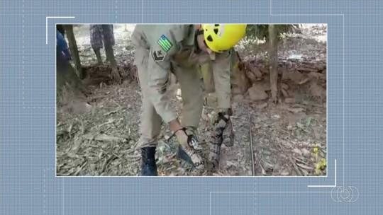 Jiboia de quase 2 metros é encontrada em quintal de casa em Jaraguá; vídeo