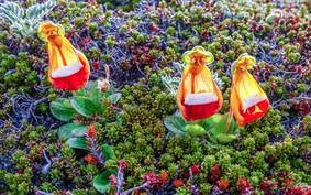 Flor bonequinha: cultive a planta de clima frio
