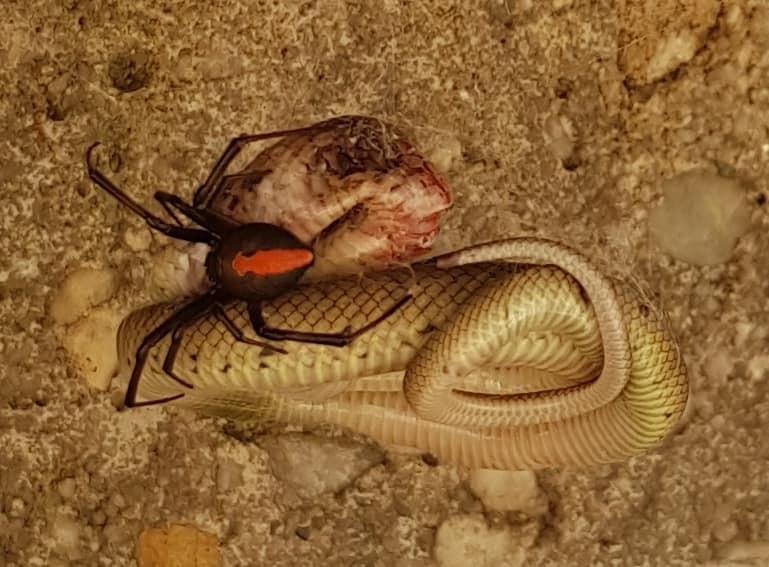 Batalha entre uma das aranhas mais venenosas da Austrália,Latrodectus hasseltii, e serpente Pseudonaja textilis (Foto: Facebook / Robyn McLennan)