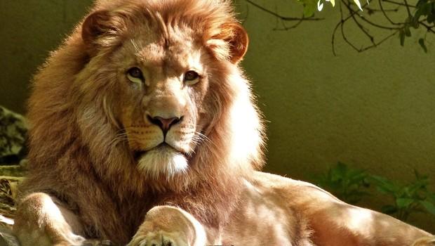 leão, felino, imposto de renda, receita federal (Foto: Pexels)