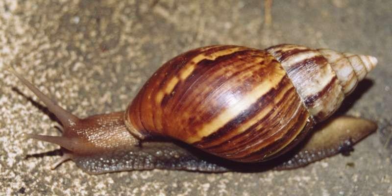 Caramujo-gigante (Foto: Wikimedia Commons)