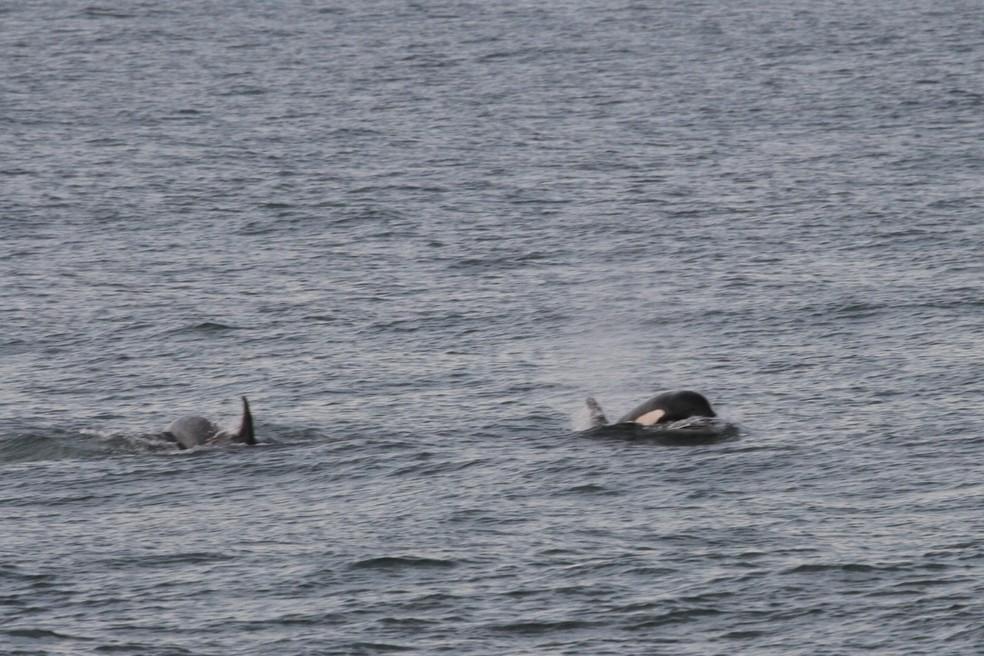 Pesquisadores registram interação inédita entre baleias-francas e orcas no litoral de SC — Foto: Eduardo Renault/ Instituto Australis