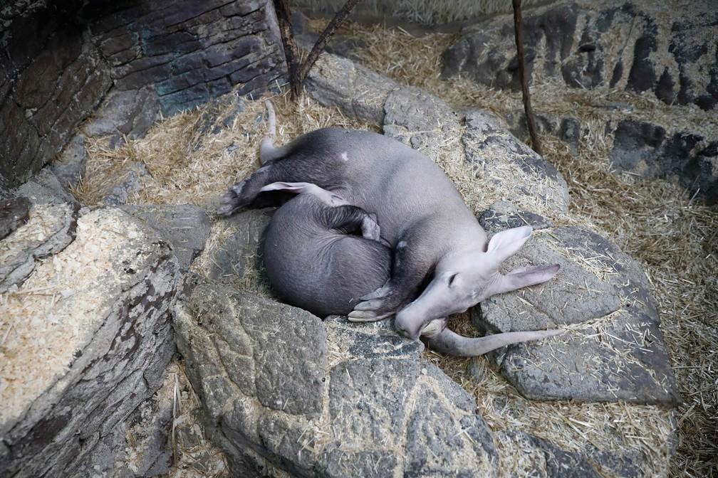 O filhote de porco-formigueiro (aardvark) Winsol dorme encolhido no colo de sua mãe, Ali, no Zoológico e Jardim Botânico de Cincinatti, nos EUA (Foto: John Minchillo/AP)