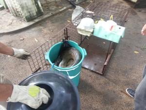 Animal colocado de forma improvisada dentro de um balde (Fot Thiago Arcanjo/Proparnaiba.com)