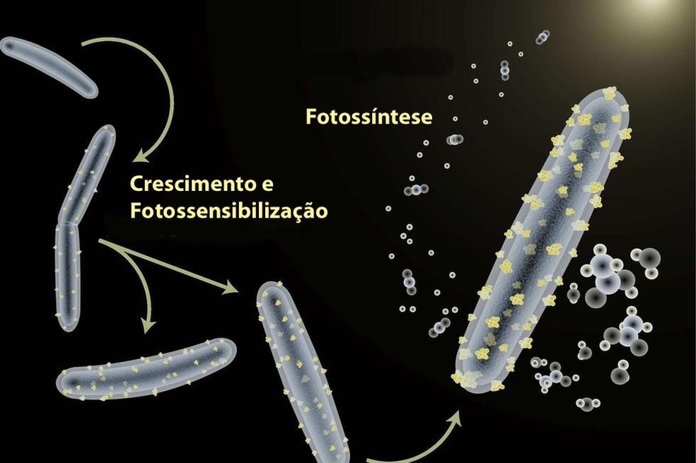 Micro-organismo é capaz de fazer fotossíntese de forma muito mais eficiente do que plantas (Foto: Kelsey Sakimoto)