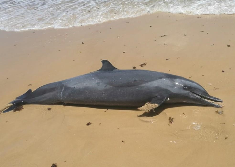 Golfinho foi encontrado morto na praia de Tabatinga na tarde desta quinta-feira — Foto: Projeto Cetáceos/UERN