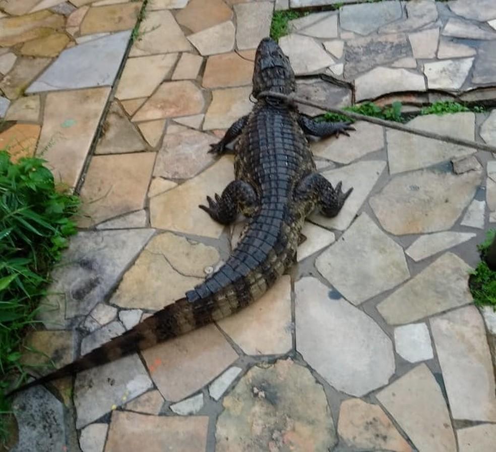 Jacaré foi encontrado no Prado, na Zona Oeste do Recife, nesta quarta-feira (24) — Foto: Reprodução/WhatsApp