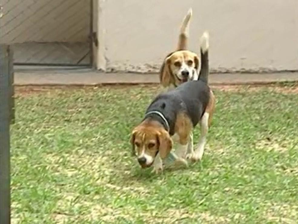 Até 2011, beagles eram utilizados em experimentos do curso de odontologia na UEM — Foto: Reprodução/RPC