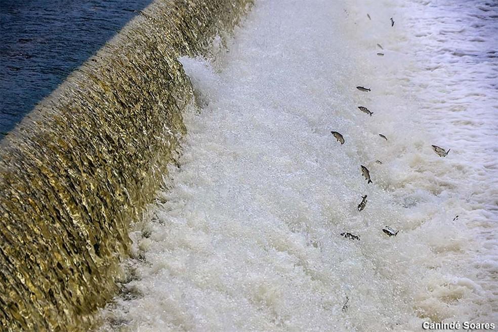 Imagem registrada no início do ano mostra peixes subindo o rio Piranhas/Açu, que abastece a barragem de Oiticica, em Jucurutu — Foto: Canindé Soares