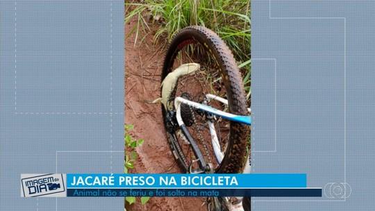 Ciclista resgata filhote de jacaré que ficou preso na roda da bicicleta durante trilha, em Rio Verde