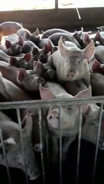 Com greve de caminhoneiros, alguns criadores estão sem ração para dar aos porcos no Mato Grosso (Foto: Reprodução)